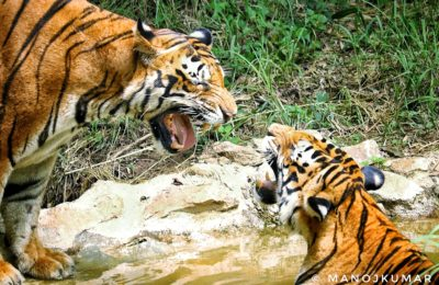 Count of Tigers in India rises to 2967; Madhya Pradesh roars the loudest